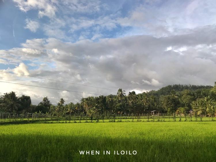 alimodian rice field